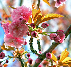 Japanese Flowering Cherry (Prunus Kwanzan) photo by Rick Leche