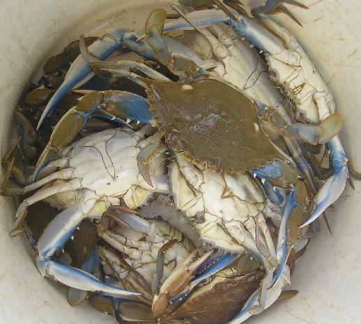 P1010997-crabe deau douce 518
