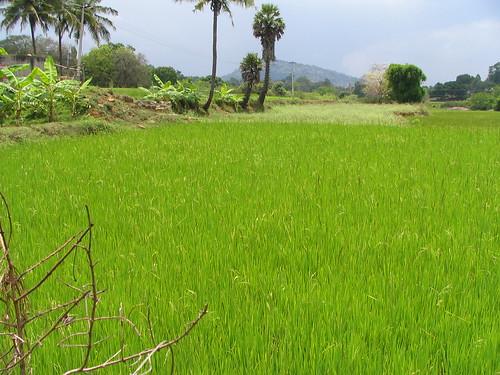 Rice Field2