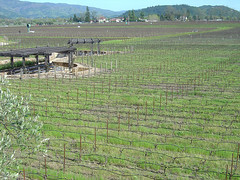 Robert Mondavi Winery - Wine fields