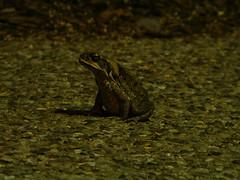 UQ: Cane toad