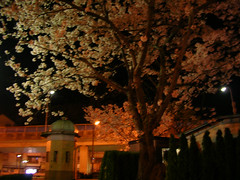 ヴェルニー公園夜桜