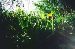 dandelions emerging