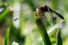 Dragonfly a Little Closer