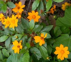 spring coreopsis