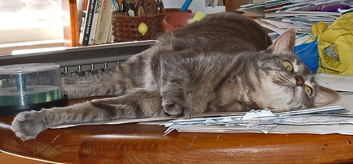 61 Boo - grey tabby cat -- on the table
