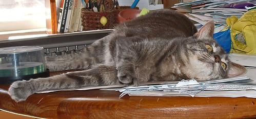 61 Boo - grey tabby cat -- on the table
