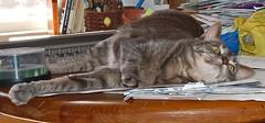 Boo: gray tabby cat