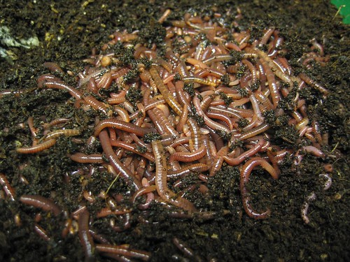 Red Wigglers, The Cadillac of Worms