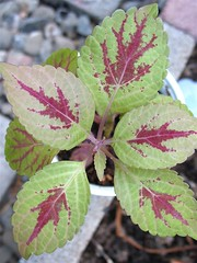 Coleus 'Velvet Lime' (3 Leaves/Node)