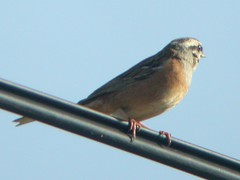 Rock Bunting, N of Bispo (Portugal), 15-Apr-06