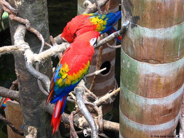 IMG_2980 - Scarlet Macaws