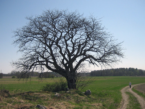 That Old Tree (with exhausted jogger)