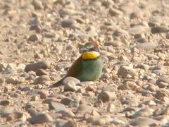 Bee-eater, Pancas (Portugal), 19-Apr-06