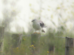 Black-winged Kite, Ponta da Erva (Portugal), 20-Apr-06