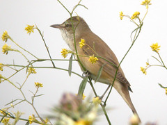 Great Reed Warbler, Ponta da Erva (Portugal), 20-Apr-06