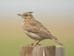 Crested Lark, E of Mourão (Spain), 21-Apr-06