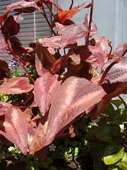 Unknown Maroon Foliage