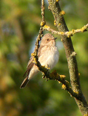 Spotted Flycatcher, Elvas (Portugal), 24-Apr-06