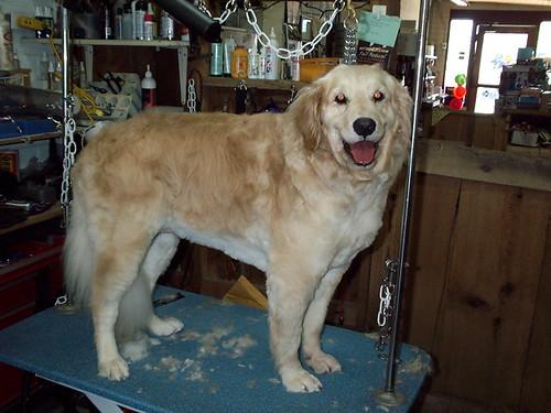 golden retriever puppy cute. Golden Retriever - Summerized