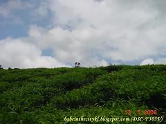 CV - tea plantation 01