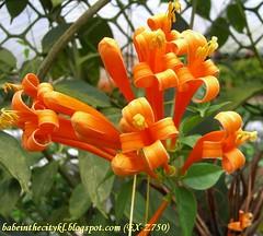ch - cv orange