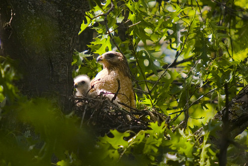 Red Shouldered Hawks on Nest