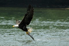 Bald Eagle with his Prey!