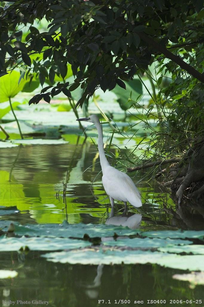 植物園的白鷺鷥