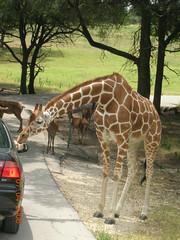 长颈鹿都想钻到人的车里去
