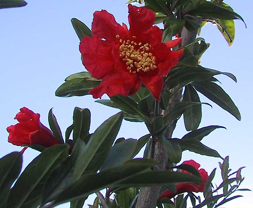 PomegranateFlower.jpg