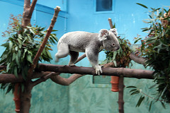 Koala bear at Edinburgh Zoo