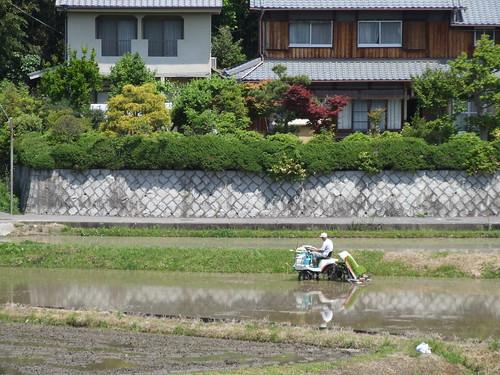 Cultivando arroz class=