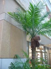 椰子の実 2006-2