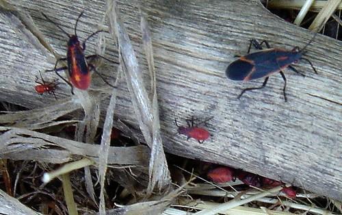 red-beetles