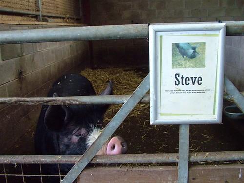 Steve the pig