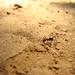 Australian Army Ant
