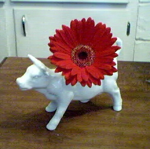 Cow with Gerber Daisy