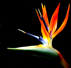 Full Bird of Paradise