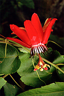 4471 Passion Flower