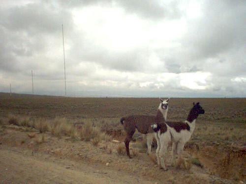 Deux lamas andins