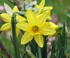 495610_daffodil