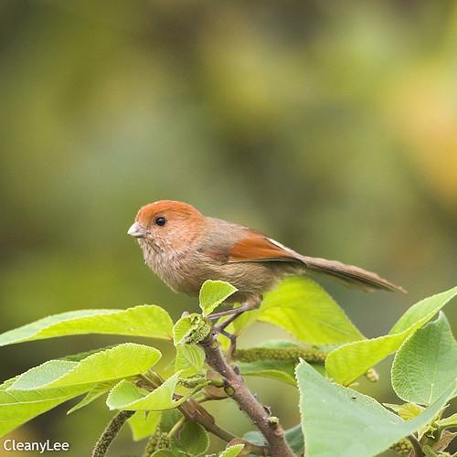 0092粉紅鸚嘴 Vinous-throated Parrotbill
