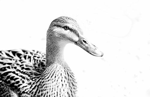A Duck for Stevie B