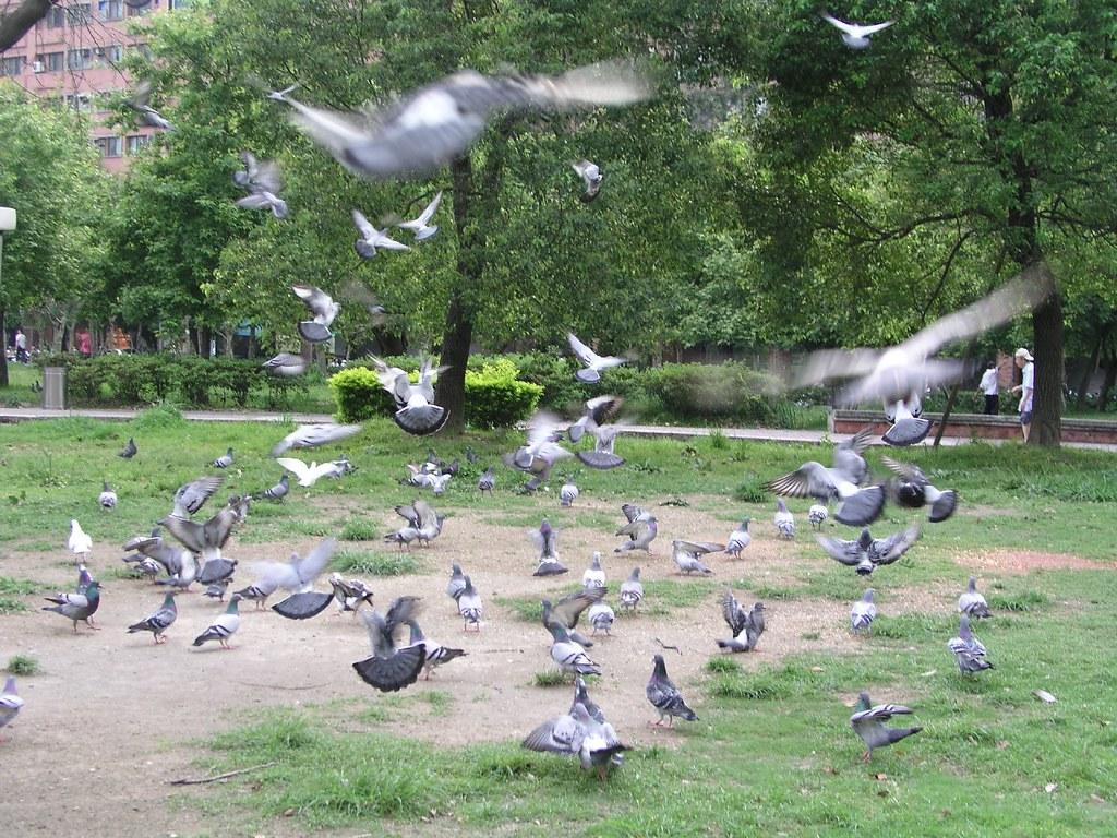 中和四號公園—一大群啄食的鴿子