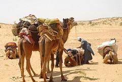 Camels, Jaisalmer, Rajasthan, India Captured April 12, 2006.