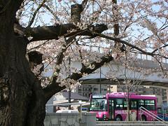 横須賀ヴェルニー公園の桜