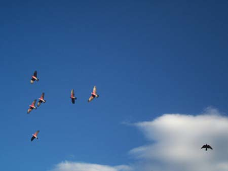 galahs in flight over cemetary