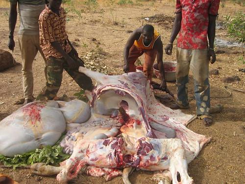 geschlachtetes Rind