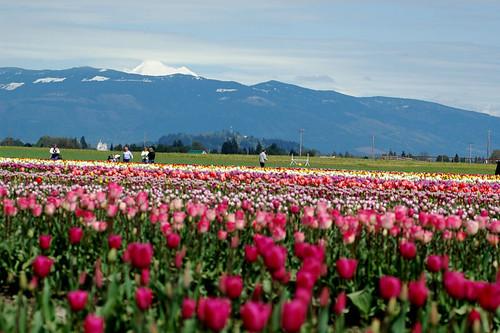 Tulips & Mt Baker